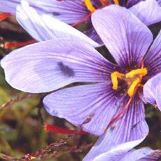 l_fleurs-crocus-sativus